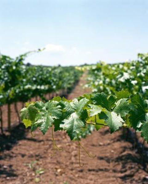 کود مخصوص انگور-کشاورزی ایران