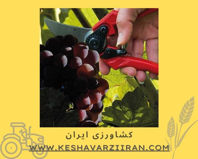 قیچی میوه چینی - کشاورزی ایران