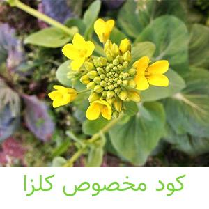 کود مخصوص کلزا-کشاورزی ایران
