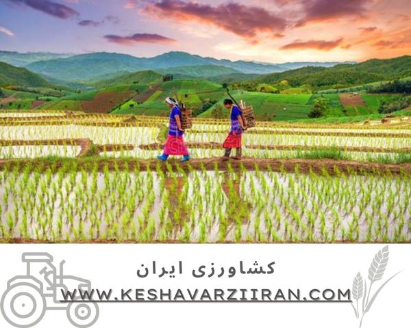 کود مخصوص برنج-کشاورزی ایران