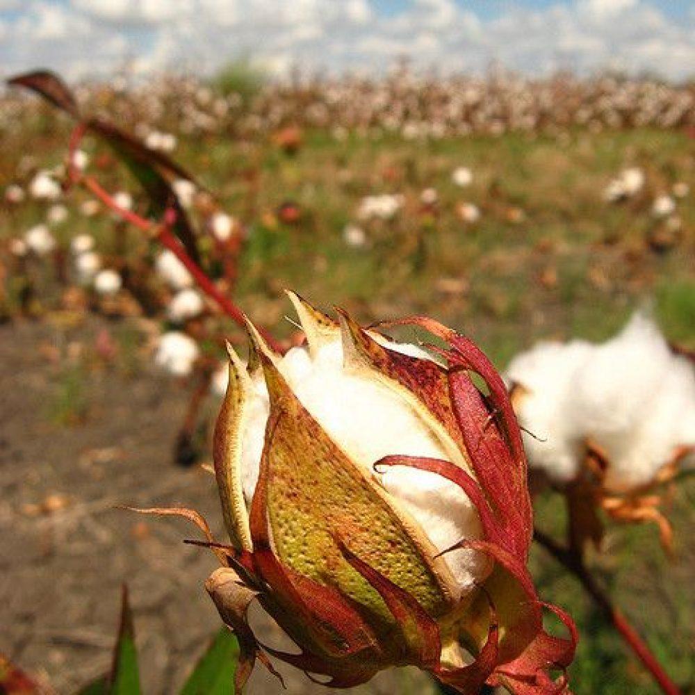 کود مخصوص پنبه-کشاورزی ایران